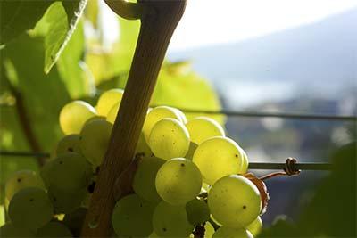 Weintrauben, im Hintergrund Blick auf die Donau